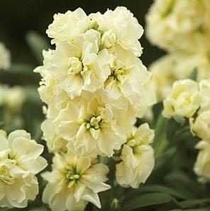 wholesale flowers | stock cream