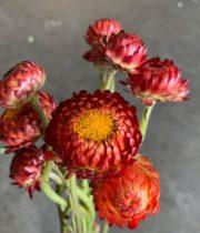 Strawflower-red/burgundy