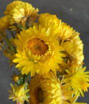 Strawflower-yellow