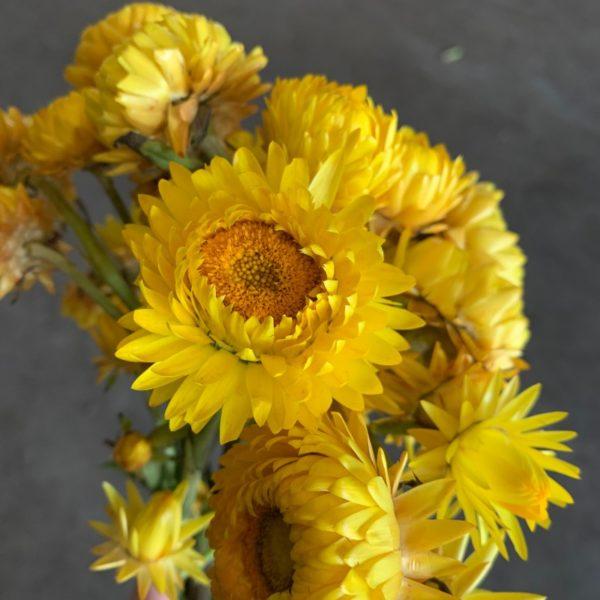 Strawflower yellow
