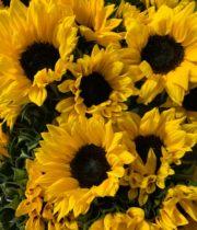 Sunflowers, Mini-yellow