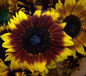 wholesale flowers | sunflowers ring of fire