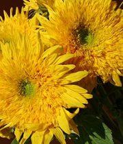 Sunflowers, Teddy Bear-yellow