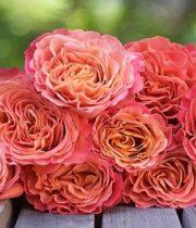 Rose Garden, Sunset-SA