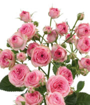 Rose Spray, Super Sensation-CA