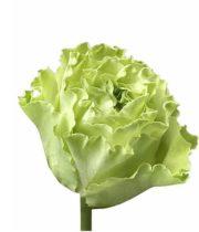 Rose, Supergreen-SA
