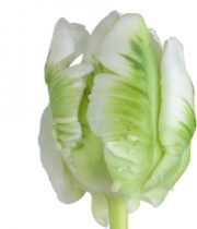 Tulips, Parrot-Supergreen-white