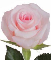 Rose, Sweet Akito-SA