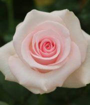 Rose, Sweet Akito-CA