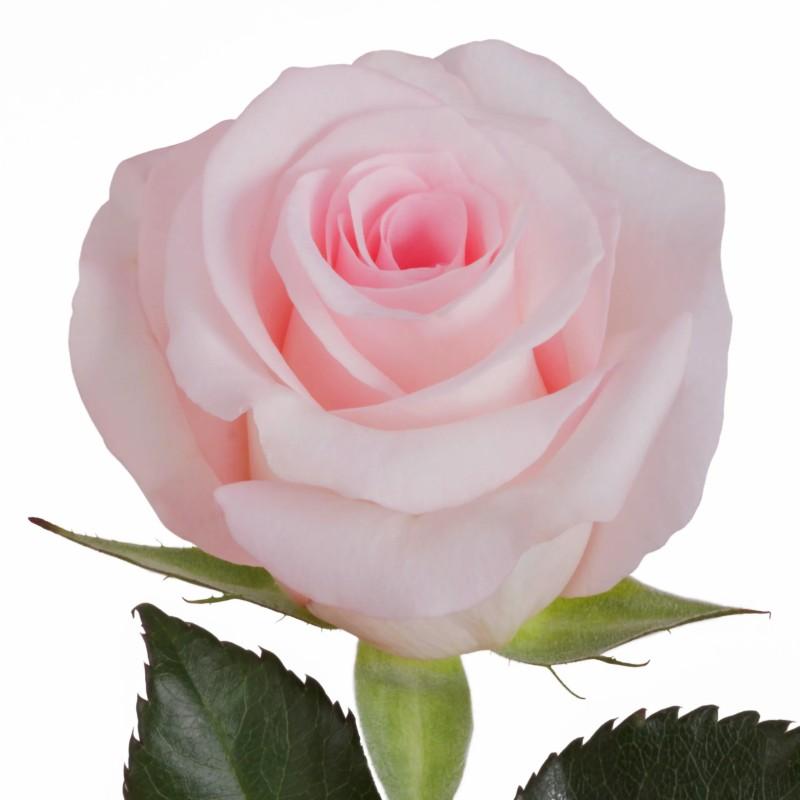 Sweet Akito Rose