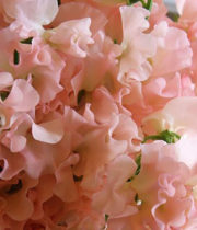 Sweet Peas-light Pink