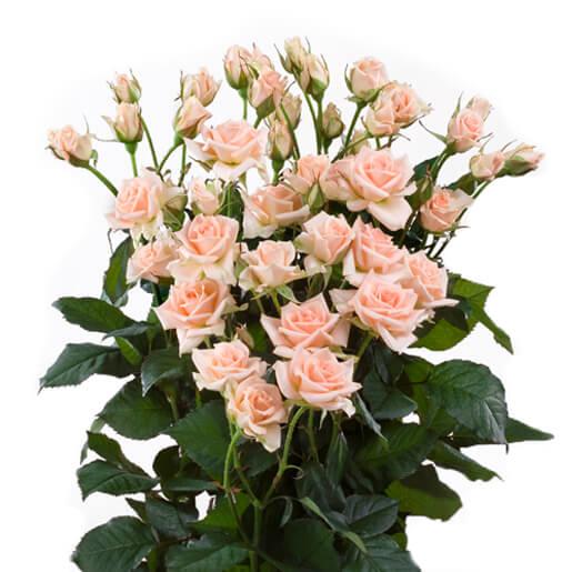 Sweet Sara Spray Rose