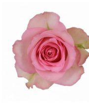 Rose, Sweet Unique-SA