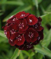 Sweet William-burgundy