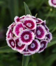 Sweet William-purple/white