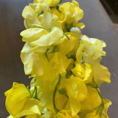 Sweetpea yellow