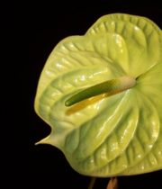 Anthurium, Large-green