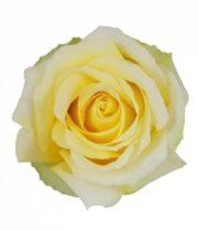 Rose, Tara-SA