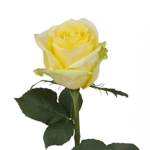 Tara Roses