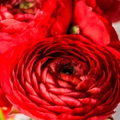 wholesale flowers | ranunculus tecate red
