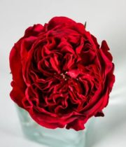 Rose Garden, Tess-SA