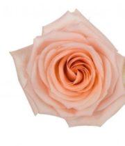 Rose, Tiffany-SA