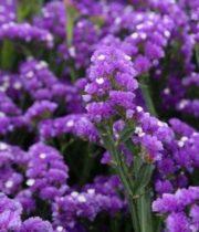 Statice, Sinuata-purple