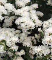 Statice, Sinuata-white
