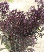 Trachelium-purple