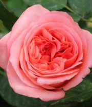 Rose Garden, True Love-CA