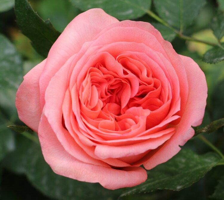 True Love Rose