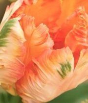 Tulips, Parrot-Apricot