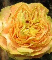 Rose Garden, Turtle-CA