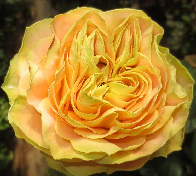 Turtle Rose