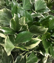Ivy, Bush-variegated