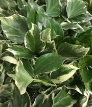 Ivy, Bush-variegated