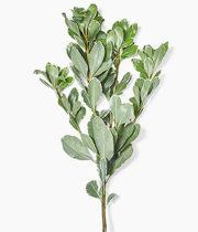 Pittosporum-variegated