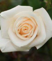 Rose, Vendela-CA