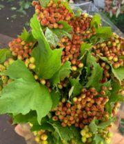 Viburnum, Cranberry-red