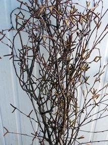 Victorian Birch