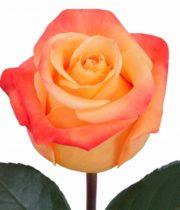 Rose, VooDoo-SA