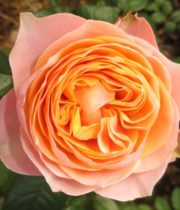 Rose Garden, Vuvuzela-CA