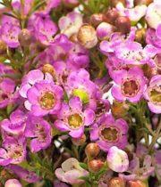 Waxflower-pink