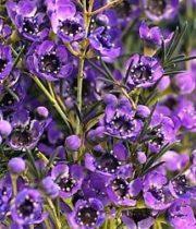 Waxflower-purple