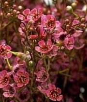 Waxflower-Red Pearl (budded)