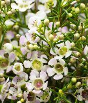 Waxflower-white