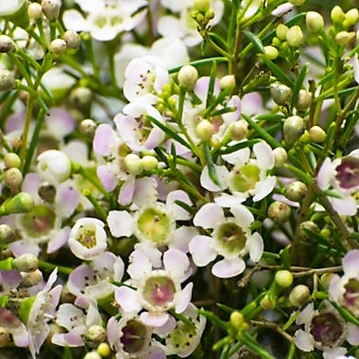 wholesale flowers | waxflower