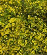 Waxflower-tinted