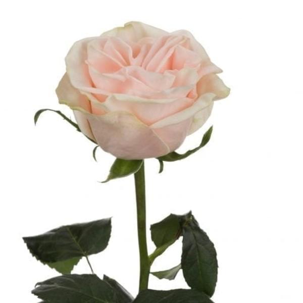 Wedding Spirit Rose