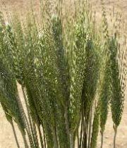 Wheat-green